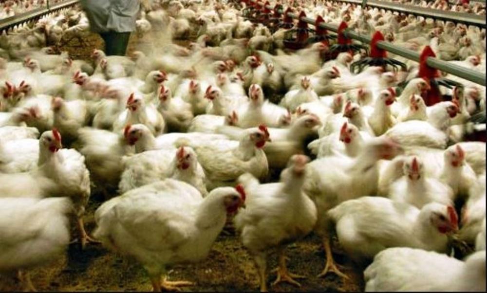 immagine allevamento di polli infezione aviaria in cina