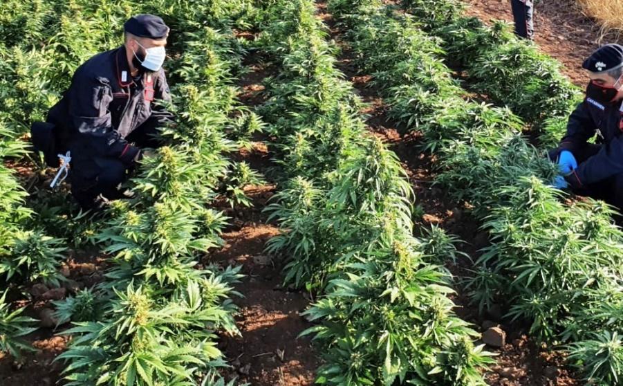 coldivazione di marijuana a nurri scoperta dai carabinieri