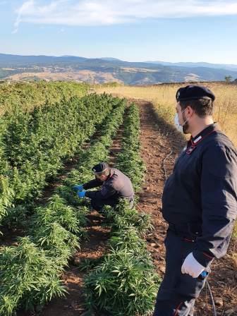 nurri coltivazione droga