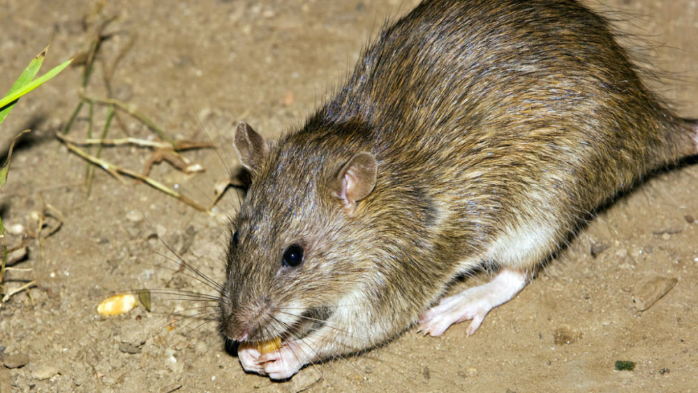 immagine ratti, deratizzazione a cagliari