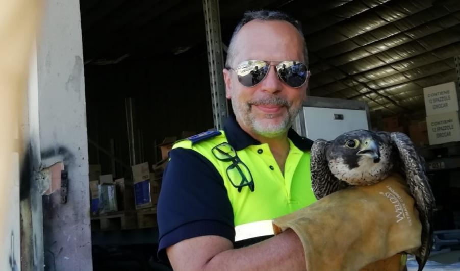 immagine falco salvato dalla polizia municipale