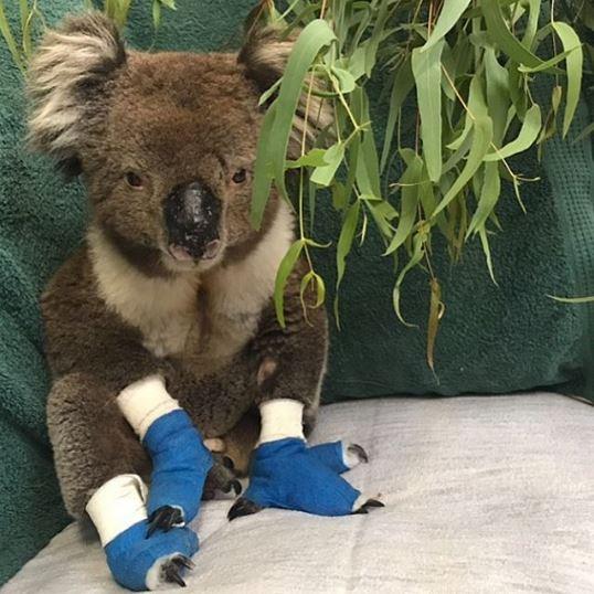 Immagine del Koala Billy morto dopo esser sopravvissuto agli incendi in australia