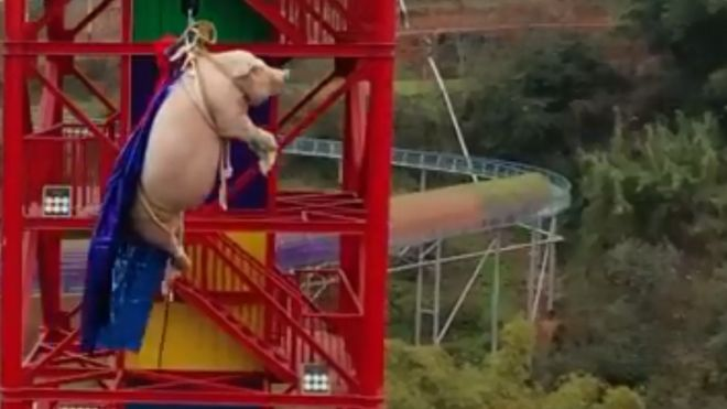 immagine di Un maiale vivo trascinato e legato ad un Bungee jumping e catapultato da 70 metri di altezza