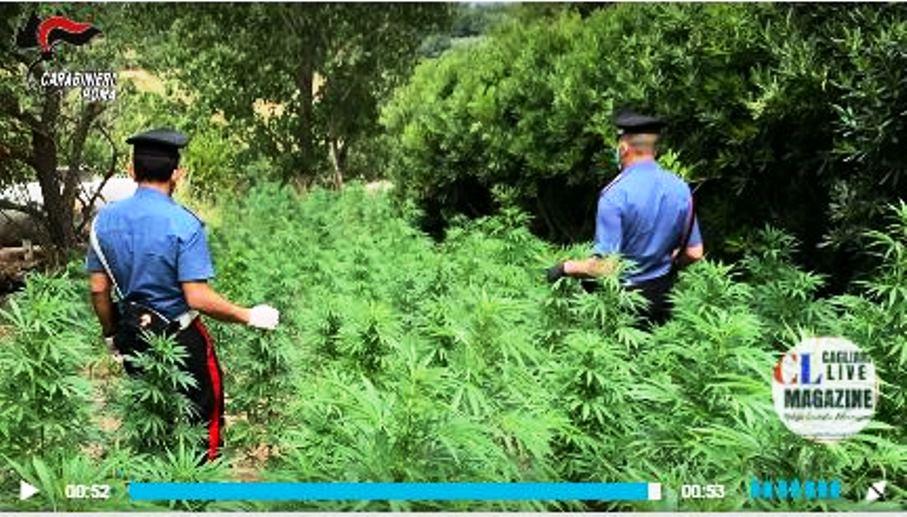 immagine piantagione di marijuana