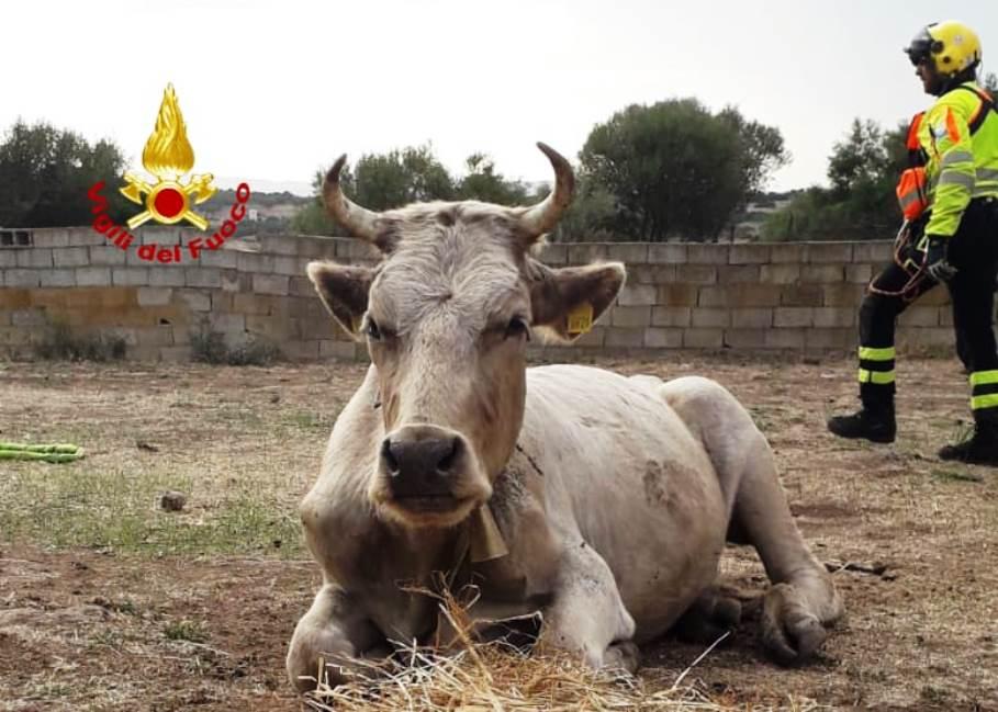 immagine bovino dopo il salvataggio