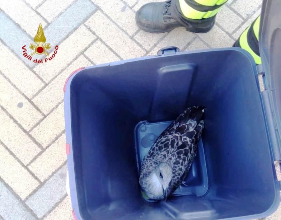 immagine pullo di gabbiano salvato dai vigili del fuoco