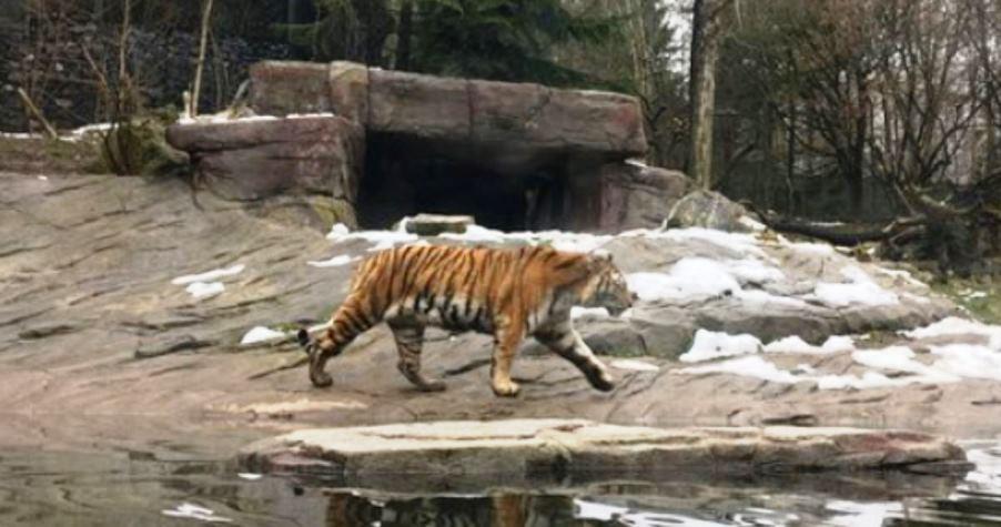 immagine tigre zoo di zurigo