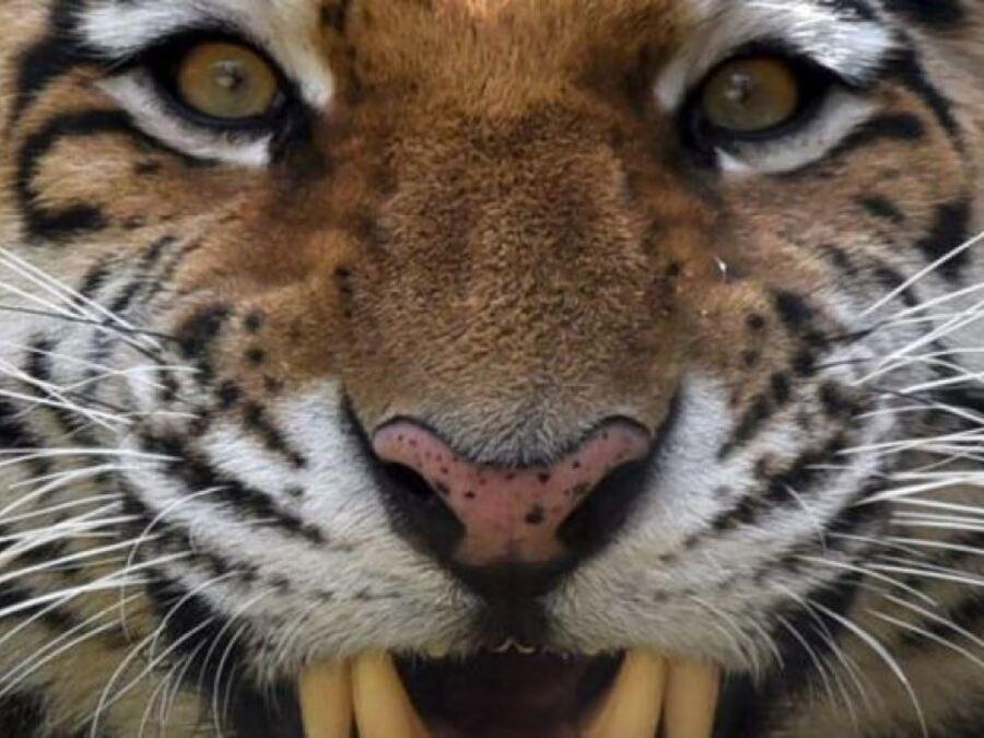 Incidente choc allo zoo: tigre stacca dito a un bimbo di un anno