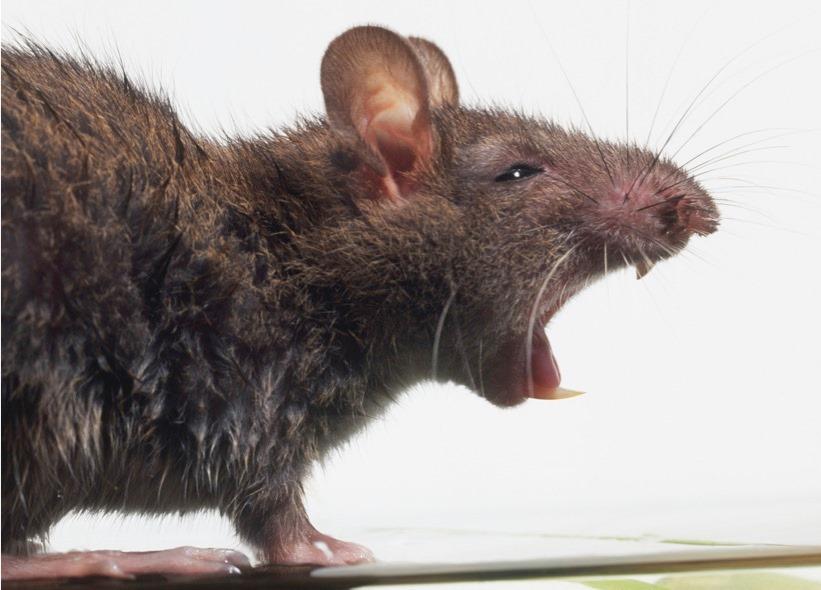 Immagine topi disinfestazione a cagliari