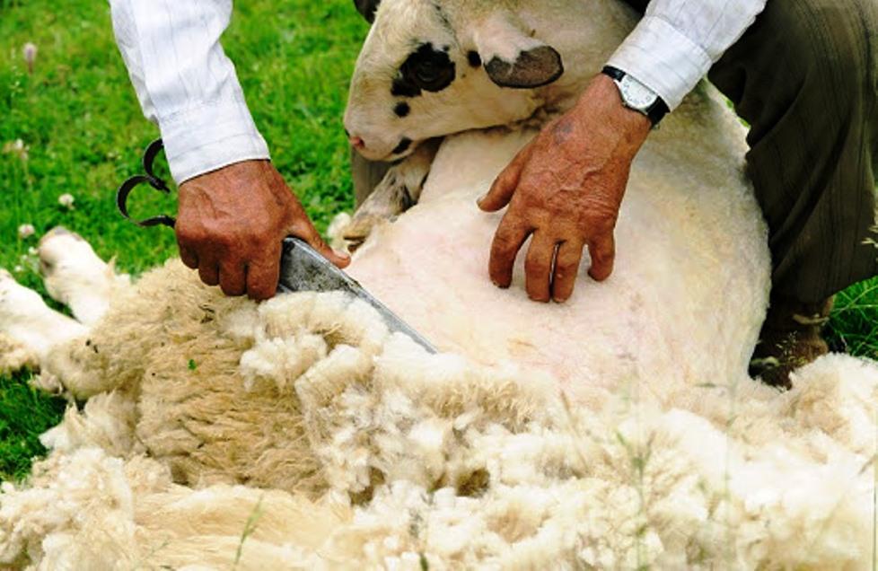tosatura pecore
